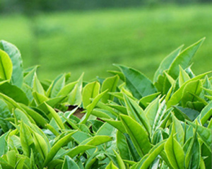 Tea export fetches at Tk 17 crore in last FY: Tofail